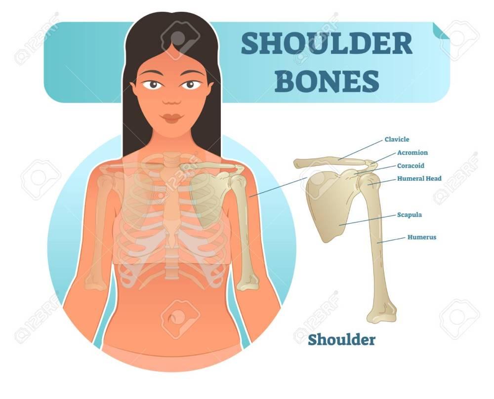 medium resolution of labeled human shoulder bone anatomical vector illustration diagram poster medical health care information stock
