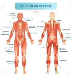 male muscular system full anatomical body diagram with muscle full body diagram of arteries full body diagram [ 1300 x 1263 Pixel ]
