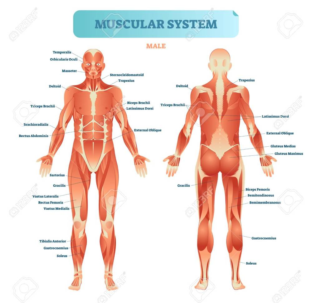 medium resolution of male muscular system full anatomical body diagram with muscle full body diagram of arteries full body diagram