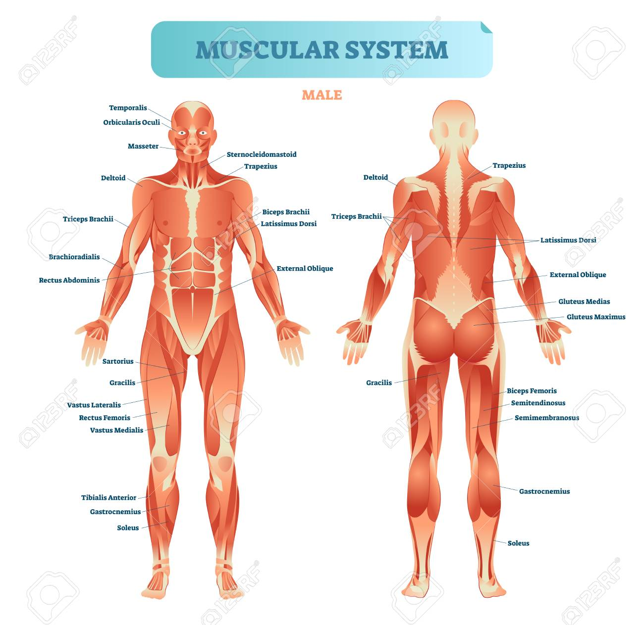 hight resolution of male muscular system full anatomical body diagram with muscle full body diagram of arteries full body diagram