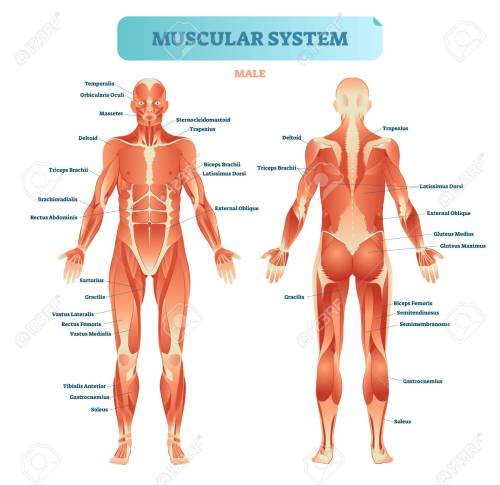 small resolution of male muscular system full anatomical body diagram with muscle full body diagram of arteries full body diagram