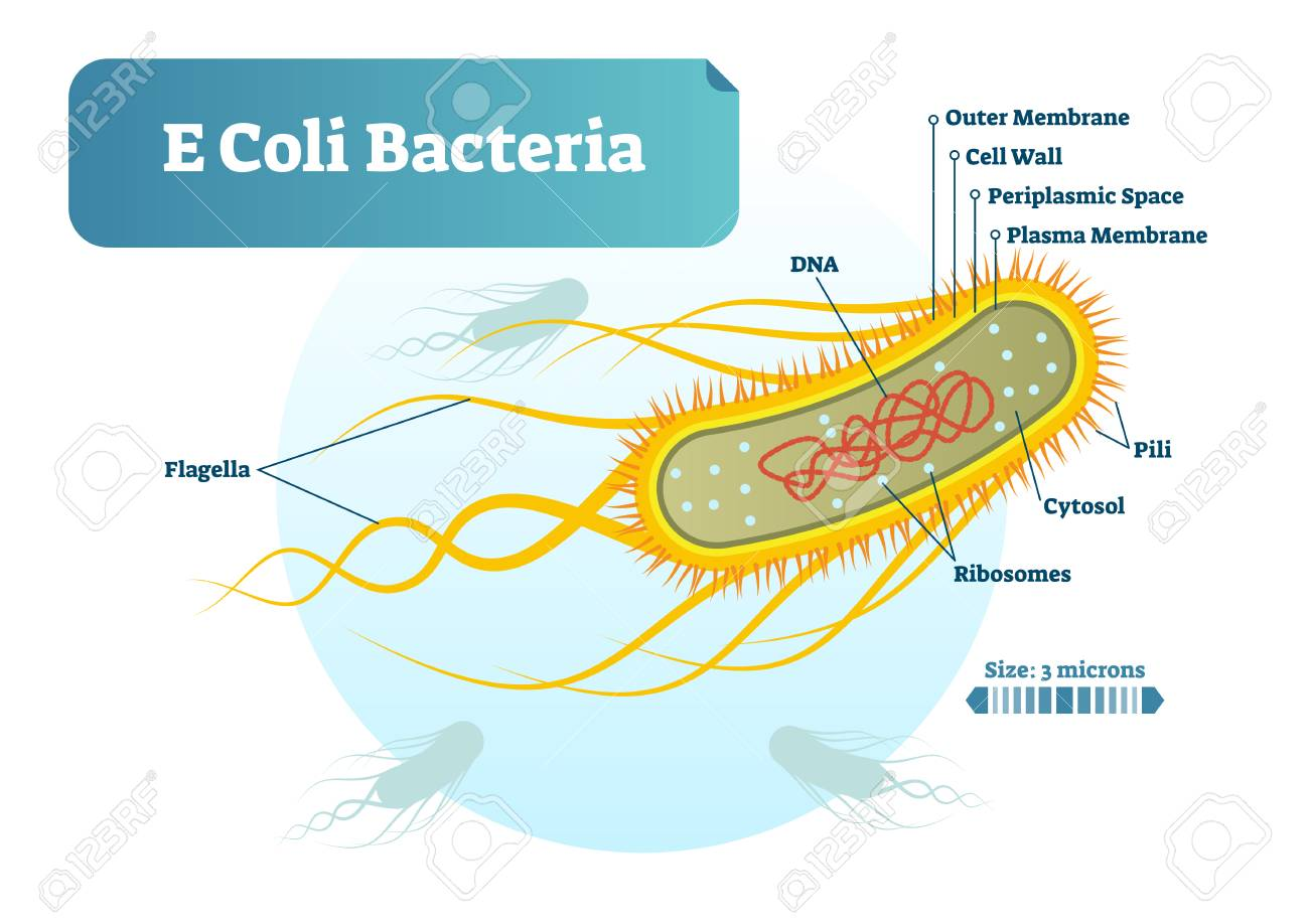 bacteria structure diagram 2009 jeep wrangler radio wiring e coli micro biological vector illustration cross section labeled medical research information