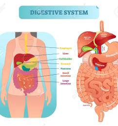 human digestive system medical anatomical vector illustration diagram with inner organs female patient medical [ 1300 x 1153 Pixel ]
