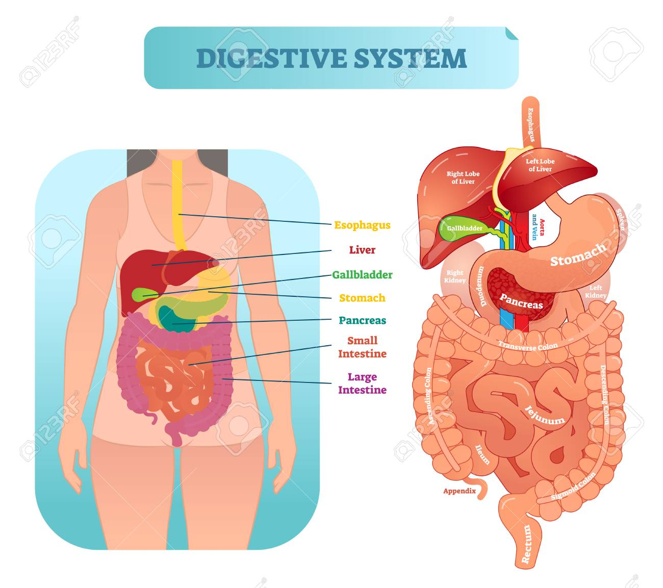 hight resolution of human digestive system medical anatomical vector illustration diagram with inner organs female patient medical