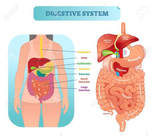 small resolution of human digestive system medical anatomical vector illustration diagram with inner organs female patient medical