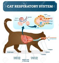 cat respiratory system vet vector illustration poster with lungs and capillary diagram scheme cat [ 1155 x 1300 Pixel ]