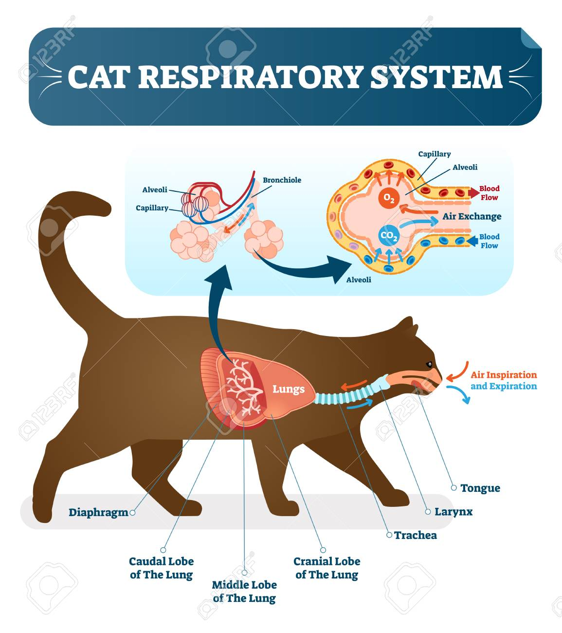 hight resolution of cat respiratory system vet vector illustration poster with lungs and capillary diagram scheme cat