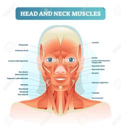 head and neck muscles labeled anatomical diagram facial vector illustration with female face health [ 1228 x 1300 Pixel ]