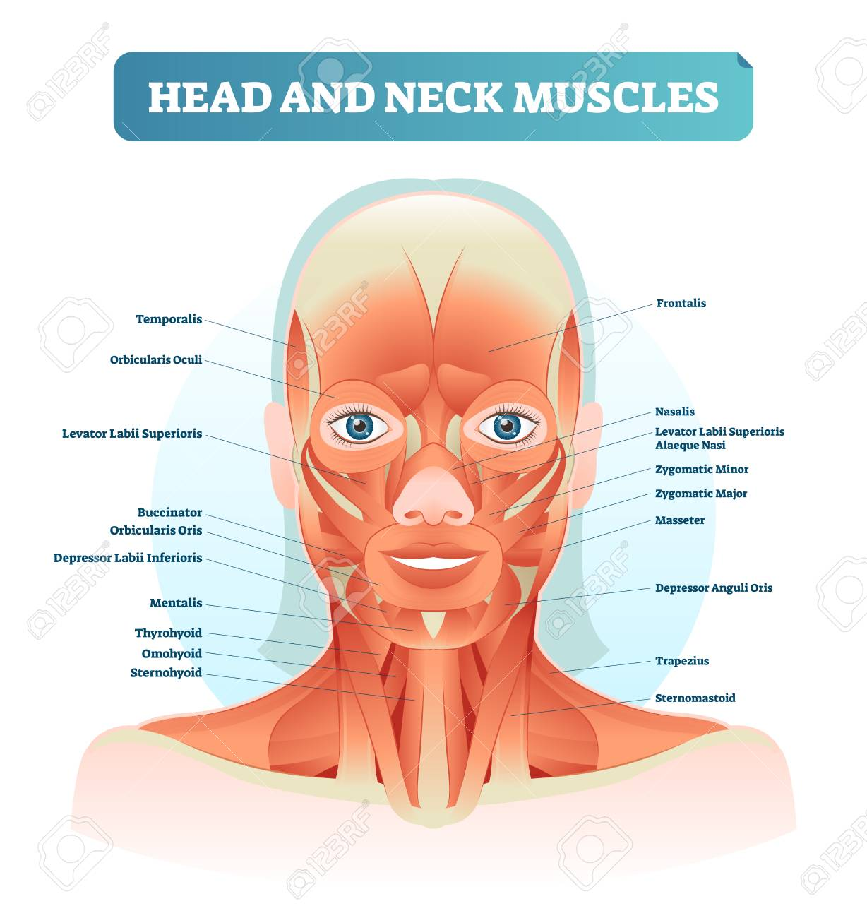 hight resolution of head and neck muscles labeled anatomical diagram facial vector illustration with female face health