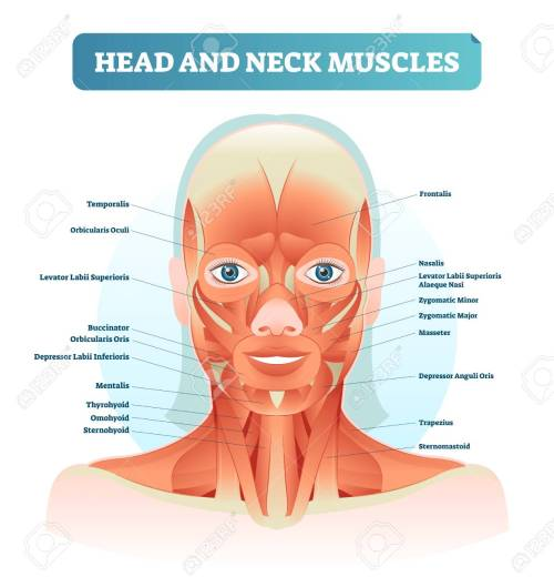 small resolution of head and neck muscles labeled anatomical diagram facial vector illustration with female face health