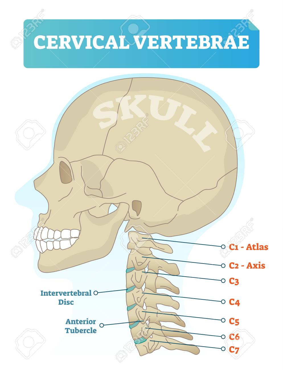 cervical vertebrae diagram 1994 4l80e wiring vector illustration of medical scheme with close up skull and isolated c1