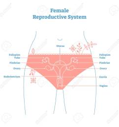 artistic style female reproductive system vector illustration educational poster health and medicine labeled diagram  [ 1300 x 1300 Pixel ]