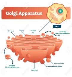 golgi apparatus vector illustration labeled microscopic scheme with cisternae lumen cis or trans [ 1287 x 1300 Pixel ]