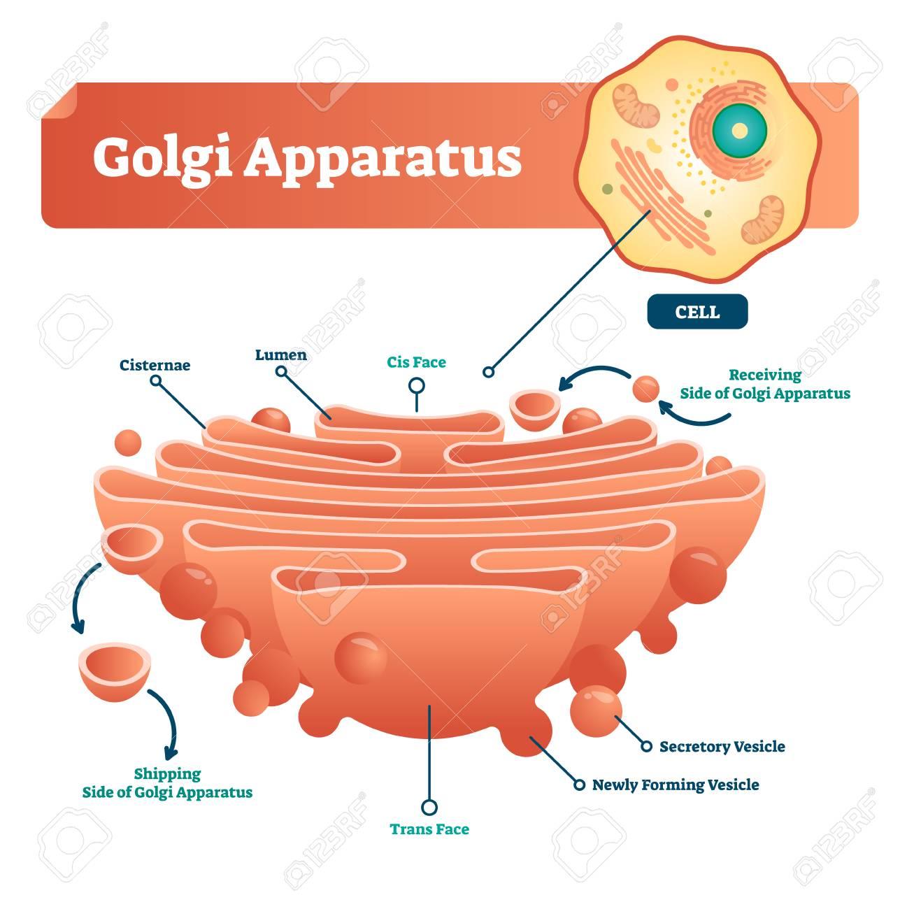 hight resolution of golgi apparatus vector illustration labeled microscopic scheme with cisternae lumen cis or trans