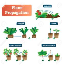 plant propagation vector illustration diagram scheme with labels on suckers division seeds  [ 1288 x 1300 Pixel ]