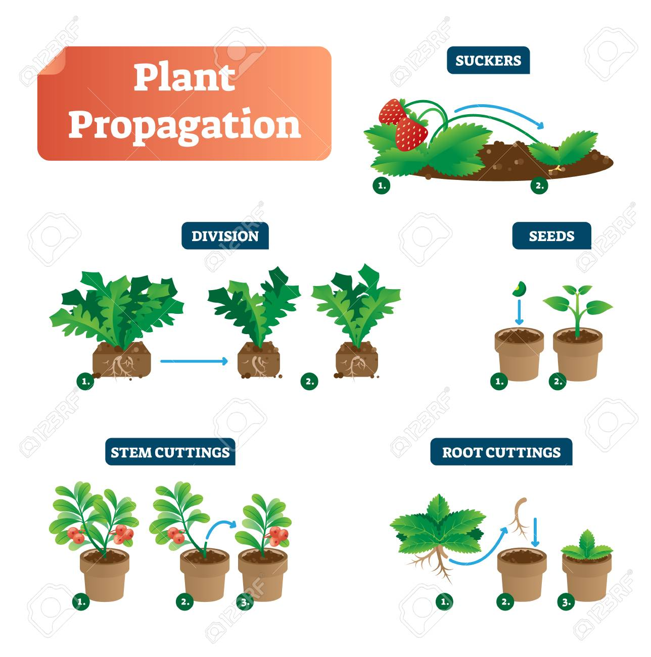 hight resolution of plant propagation vector illustration diagram scheme with labels on suckers division seeds