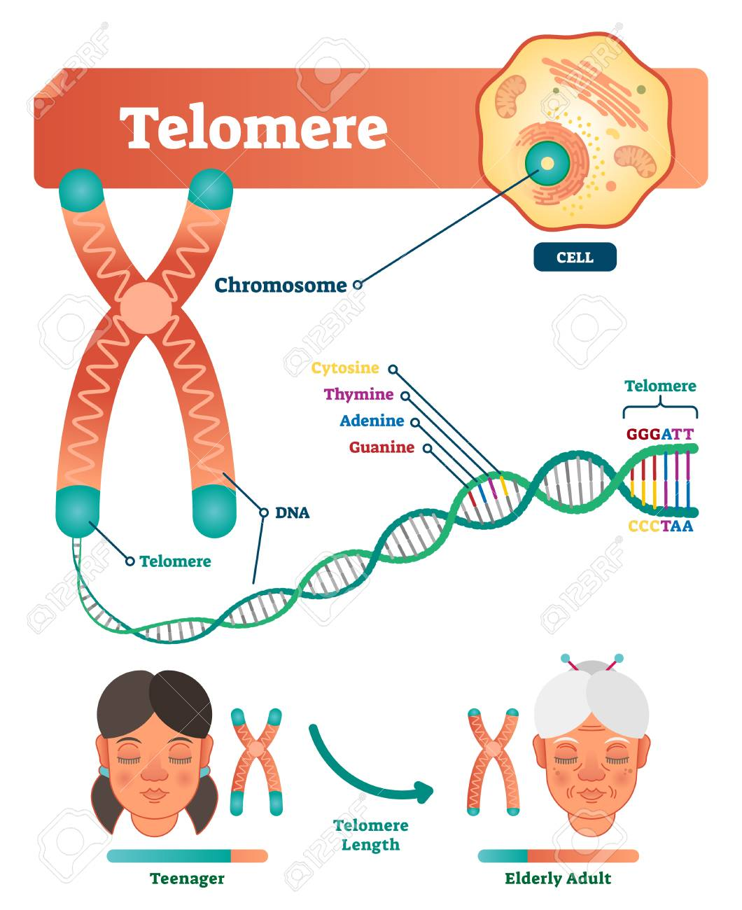 hight resolution of educational and medical scheme with cell chromosome and dna labeled
