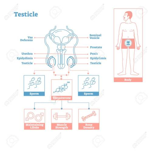 small resolution of testicle part of endocrine system medical science vector illustration diagram biological scheme with