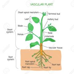 Flower Parts Diagram Without Labels Wiring For Starter Relay Vascular Plant Biological Structure With Vector Illustration Drawing Poster Educational Scheme