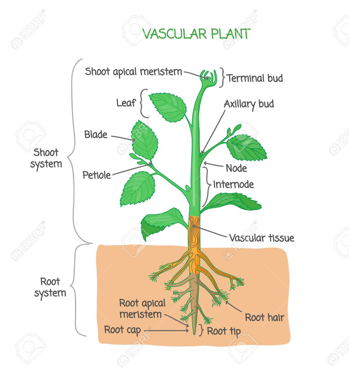 hight resolution of vascular plant biological structure diagram with labels vector illustration drawing poster educational scheme with