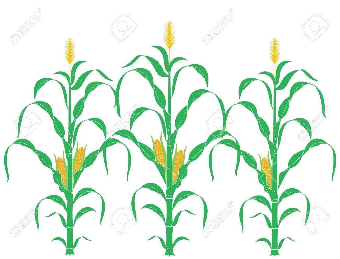 corn stalk corn