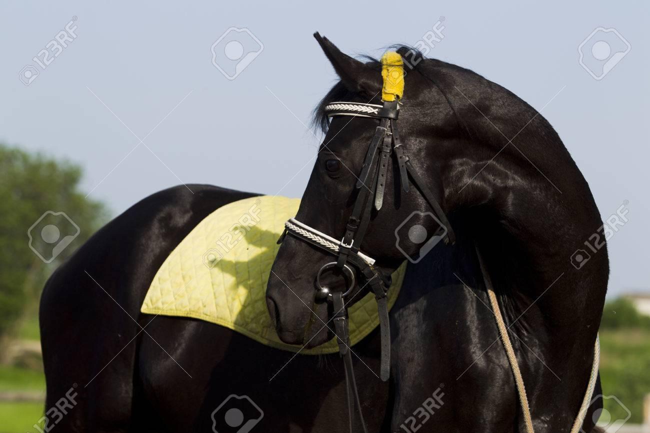 cheval noir jaune tapis de selle et la bride en regardant en arriere journee d ete ensoleillee banque d images et photos libres de droits image 47276988