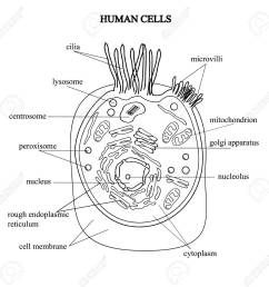 the structure of the human cells in a graphic image cell components stock vector  [ 1300 x 1271 Pixel ]