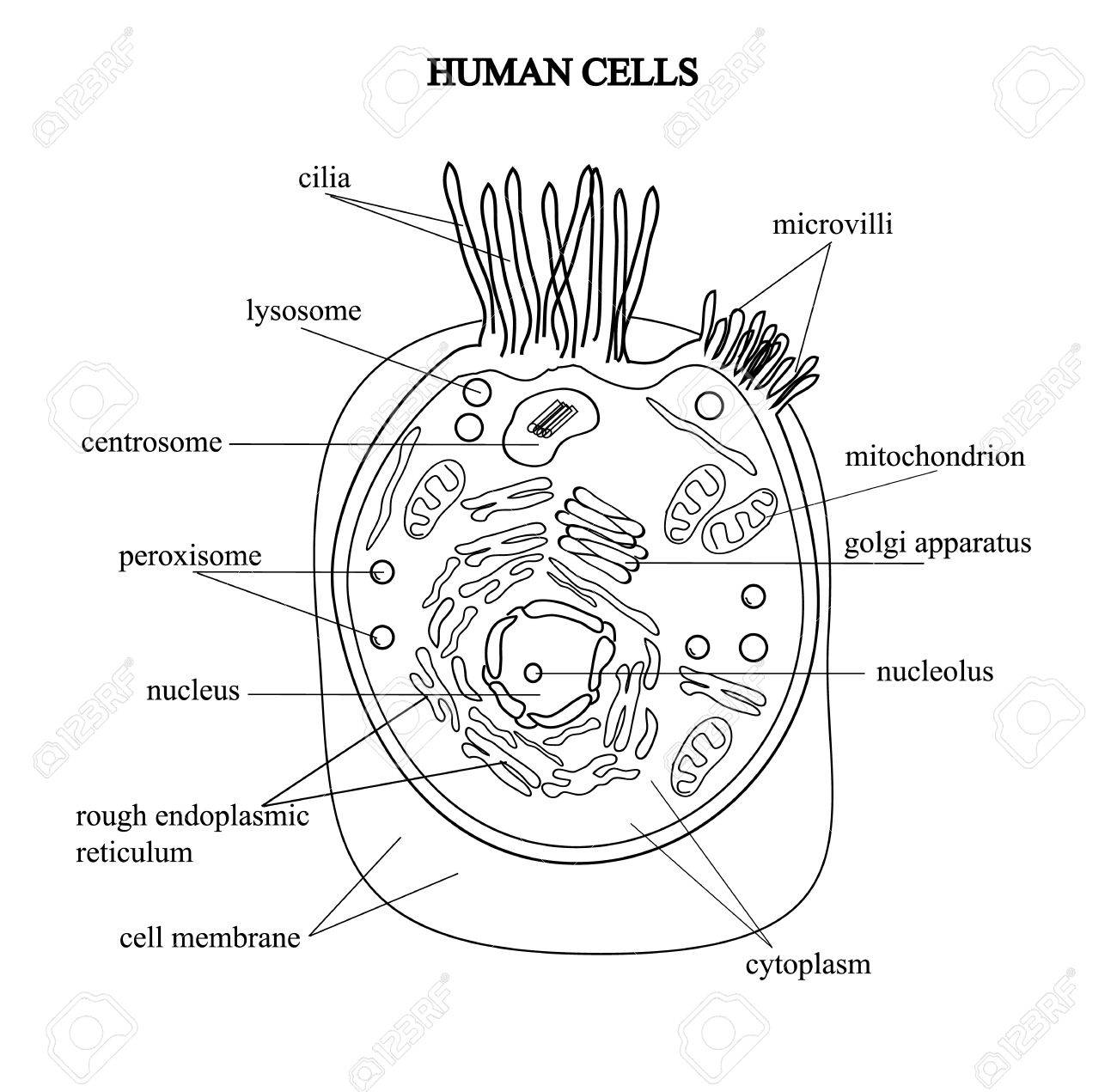 hight resolution of the structure of the human cells in a graphic image cell components stock vector