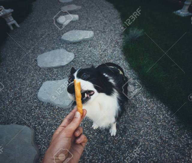 Pov Moment With Border Collie Dog Getting Some Food Stock Photo 94818952