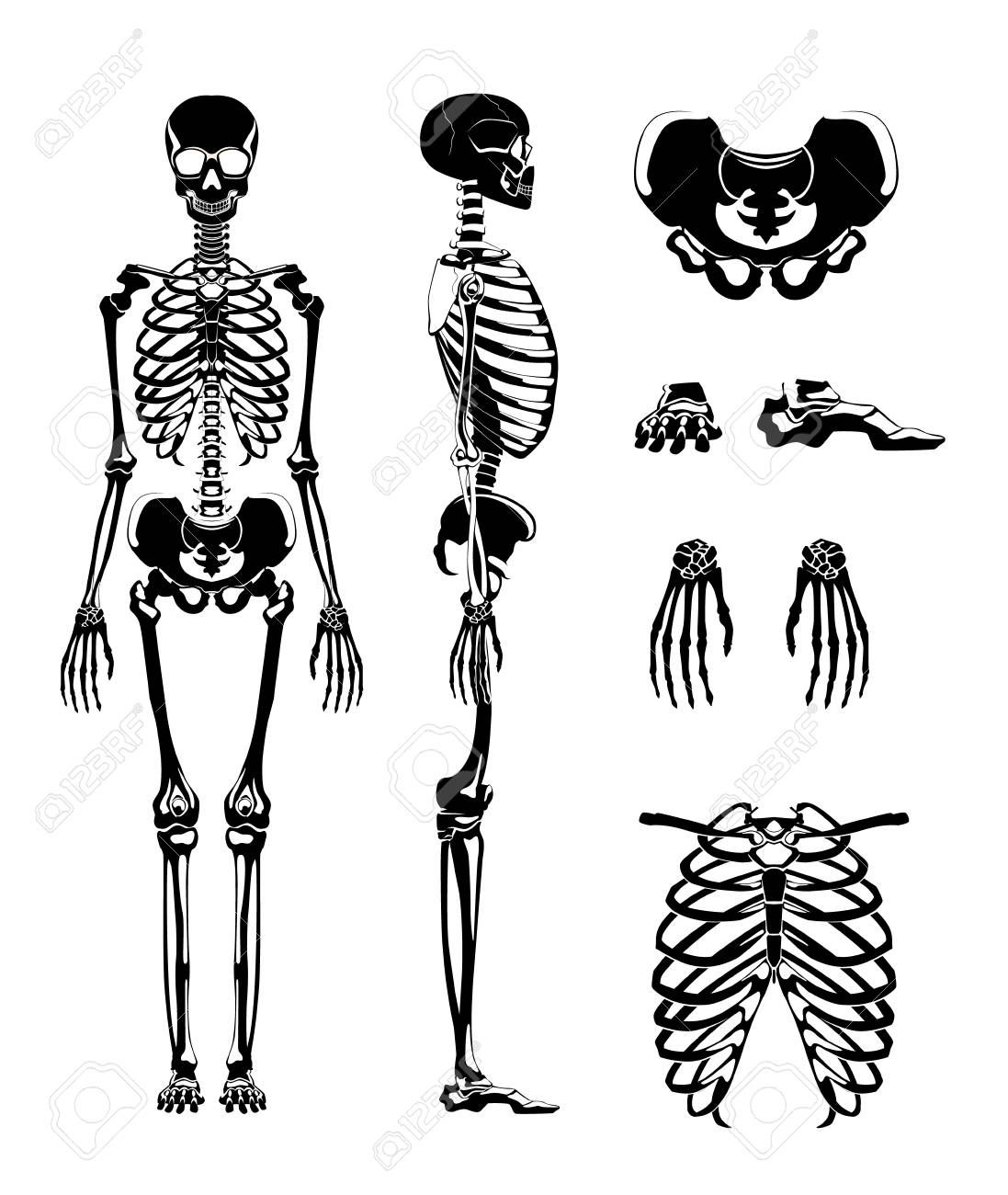 names of bones in human skeleton diagram isolated ground receptacle wiring vector silhouette anatomy pictures different