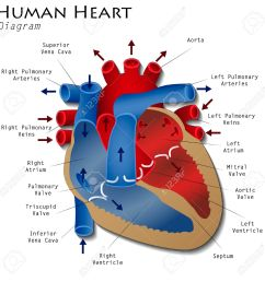human heart diagram stock vector 41057682 [ 1300 x 1300 Pixel ]