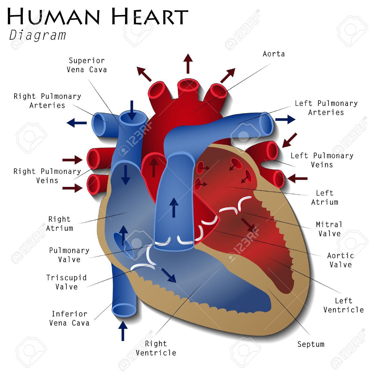 hight resolution of human heart diagram stock vector 41057682