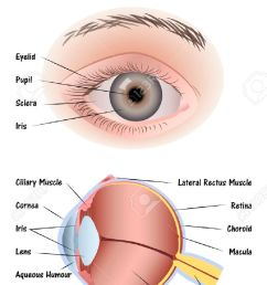 human eye diagram stock vector 42116448 [ 867 x 1300 Pixel ]