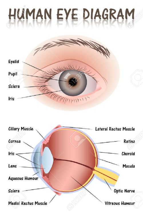 small resolution of human eye diagram stock vector 42116448