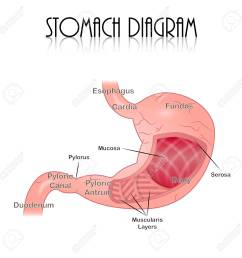 stomach diagram stock vector 44162412 [ 1300 x 1300 Pixel ]