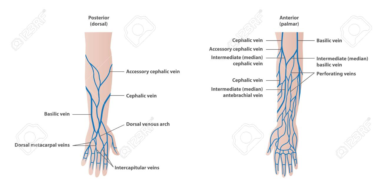 hight resolution of vector vein plotting in the arm illustration vector on white background