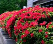 red flowering shrubs