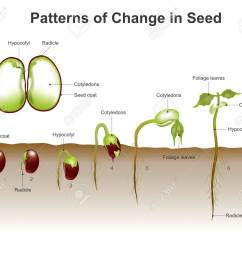 gallery images and information germination of seeds diagram wiring gallery images and information germination of seeds diagram [ 1300 x 1110 Pixel ]