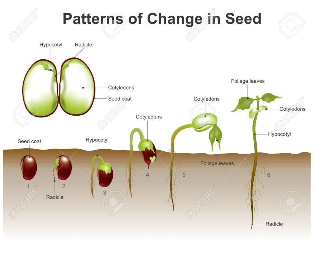 medium resolution of gallery images and information germination of seeds diagram wiring gallery images and information germination of seeds diagram