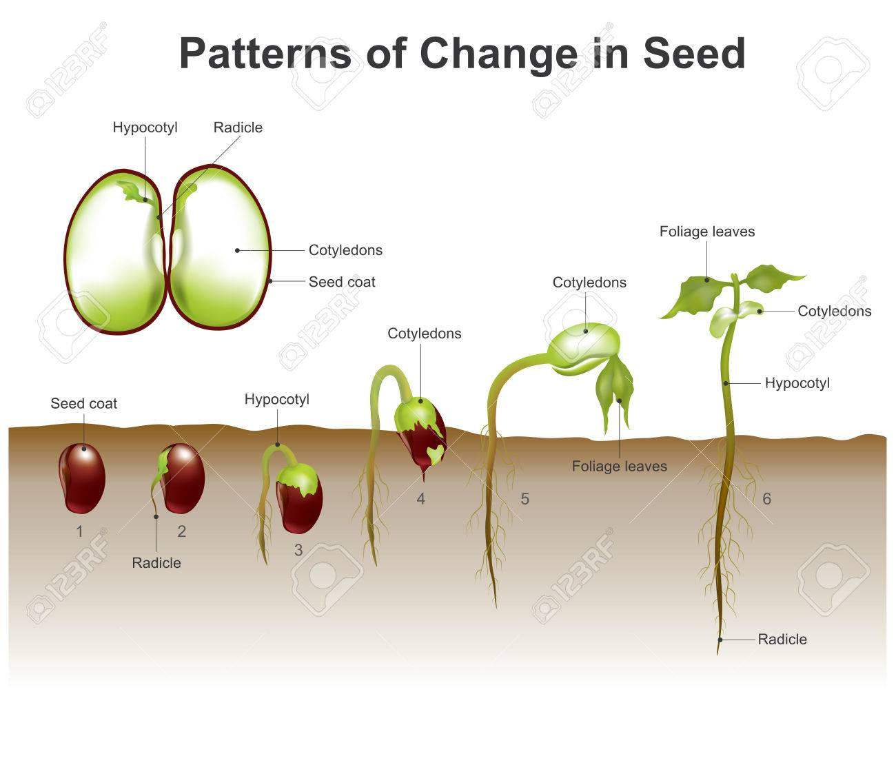 hight resolution of gallery images and information germination of seeds diagram wiring gallery images and information germination of seeds diagram