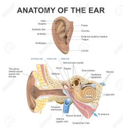 the human ear consists of three parts the outer ear middle ear and inner ear the ear canal of the outer ear is separated from the air filled tympanic  [ 1245 x 1300 Pixel ]