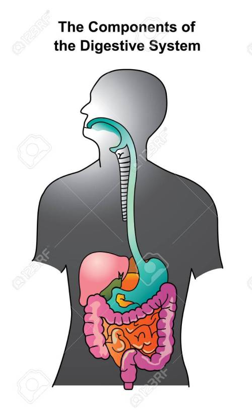 small resolution of the human digestive system consists of the gastrointestinal tract plus the accessory organs of digestion