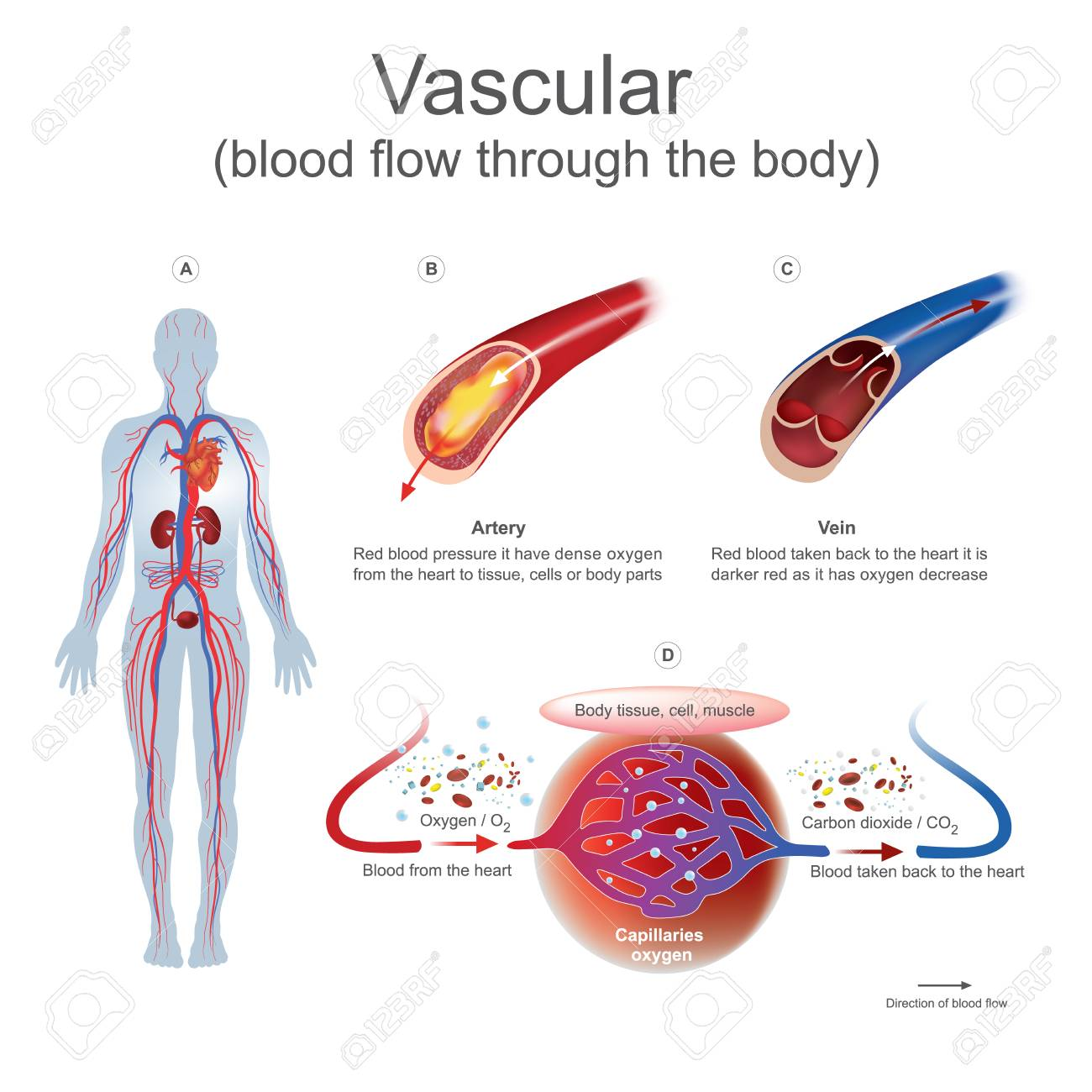 hight resolution of red blood pressure it have dense oxygen from the heart to tissue cells or body parts red blood taken back to the heart it is darker red as it has oxygen
