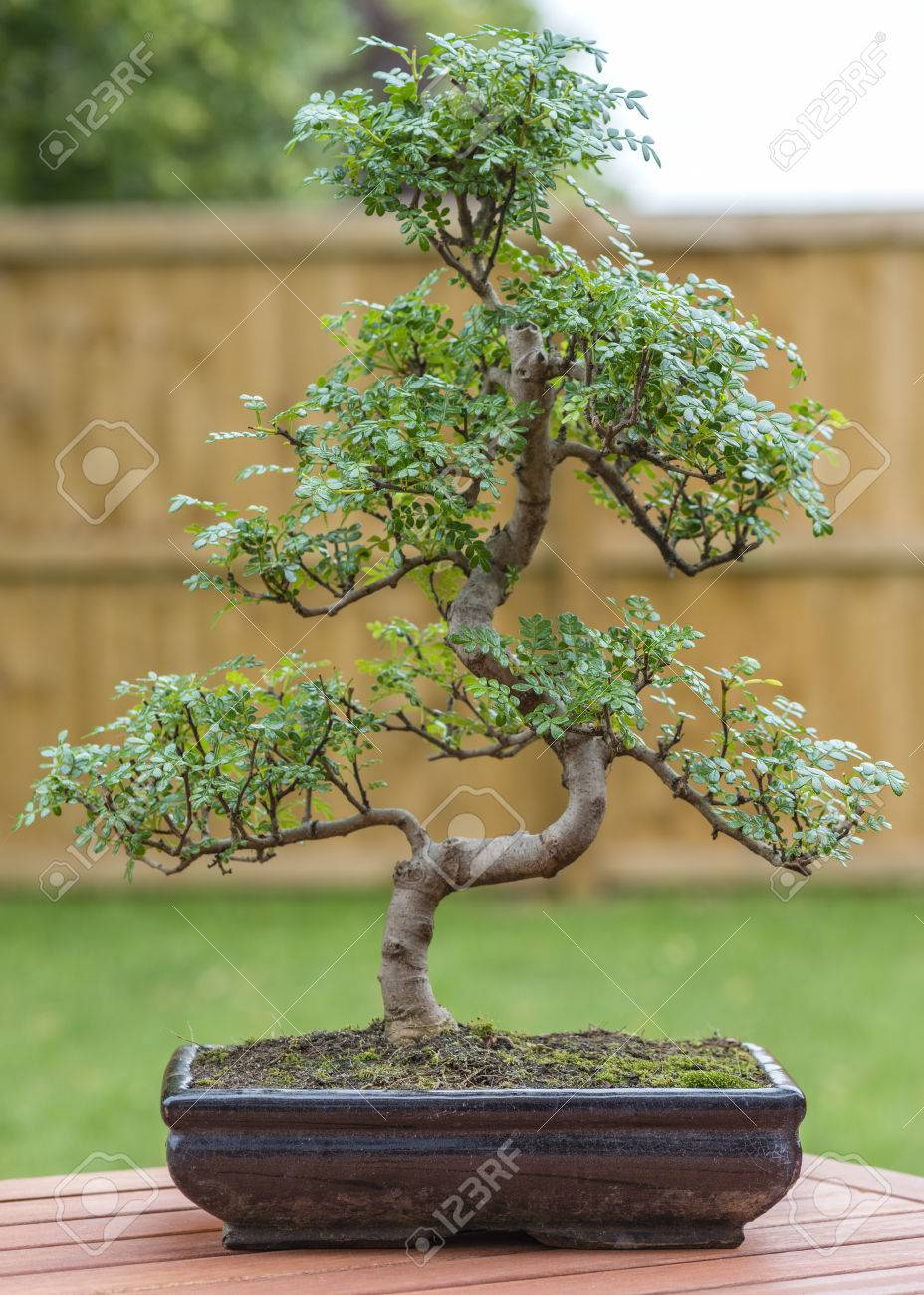 Bonsai Pepper Plant : bonsai, pepper, plant, Bonsai, Pepper, Outdoors., Stock, Photo,, Picture, Royalty, Image., Image, 49876849.