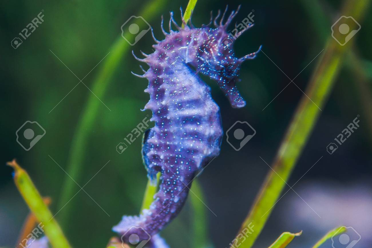 purple seahorse in the
