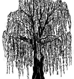 vector weeping willow tree isolated on background royalty free jpg 882x1300 willow tree silhouette clipart [ 882 x 1300 Pixel ]