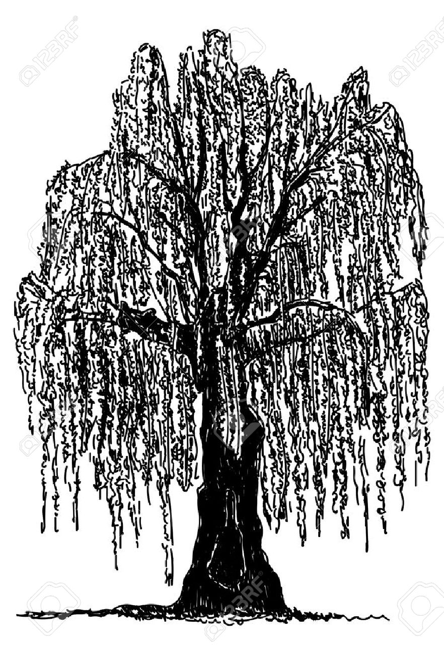 medium resolution of vector weeping willow tree isolated on background royalty free jpg 882x1300 willow tree silhouette clipart