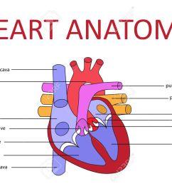 human heart anatomy schematic diagram vector illustration stock vector 43699694 [ 1300 x 919 Pixel ]