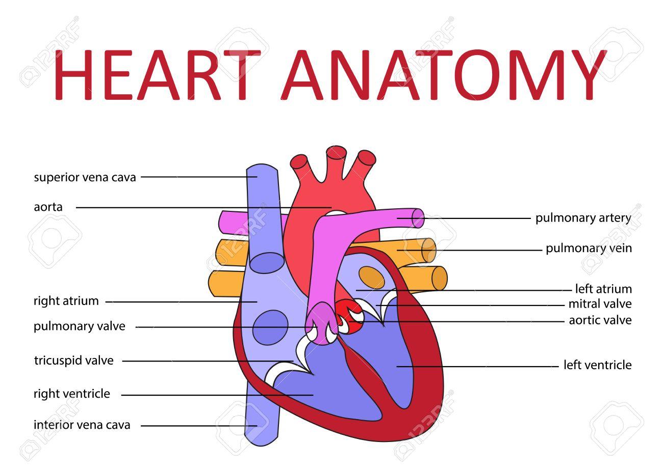 hight resolution of human heart anatomy schematic diagram vector illustration stock vector 43699694