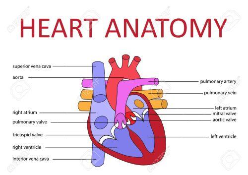 small resolution of human heart anatomy schematic diagram vector illustration stock vector 43699694